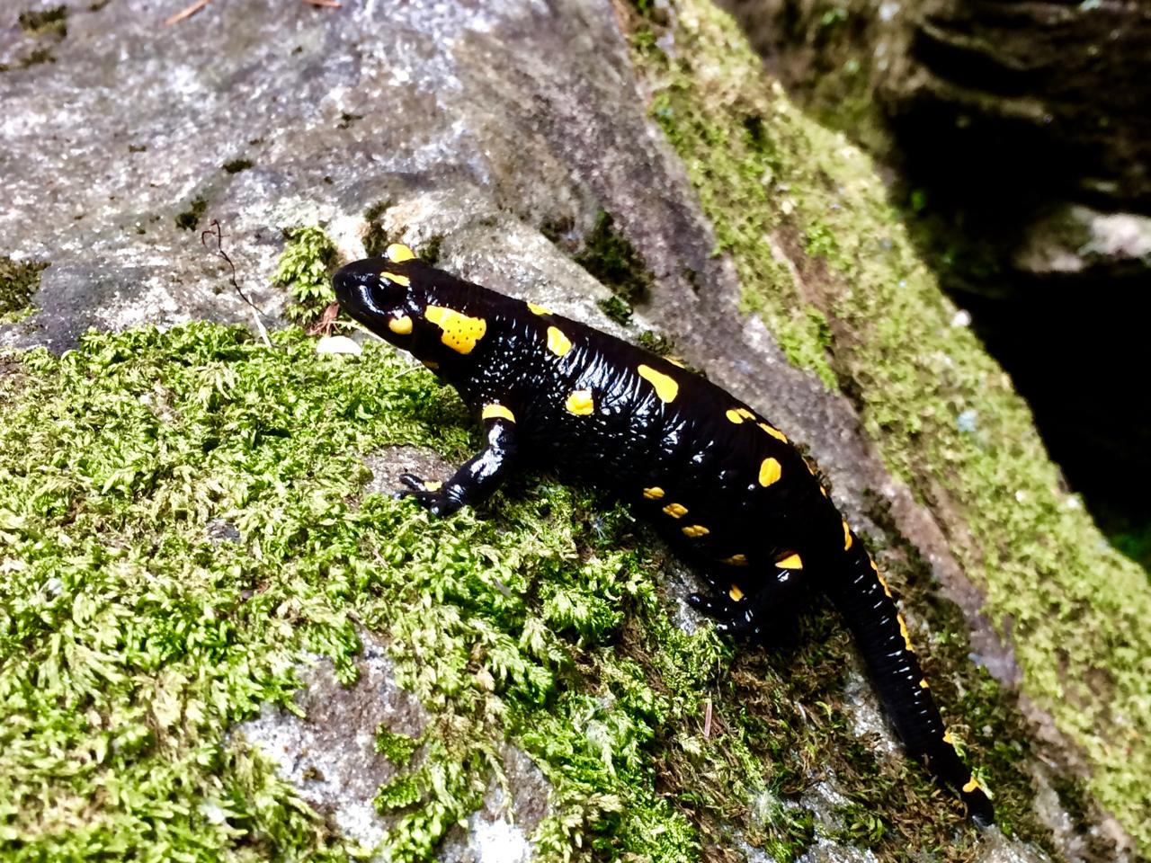 Fuoco cammina con me: la leggenda della salamandra